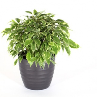 Birkenfeige (Ficus benjaminii) pflegen und düngen