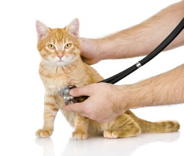 Blasenentzündung bei Katzen erkennen und behandeln
