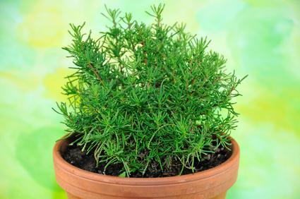 Grünes Olivenkraut - Das unbekannte Küchenkraut