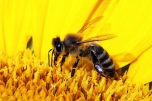 Hausmittel Gegen Bienen