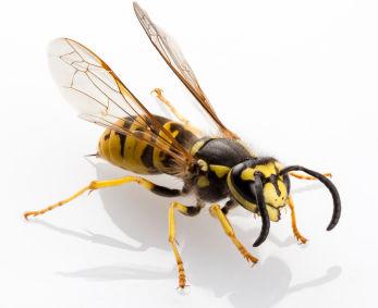 Hausmittel und erste Hilfe bei Wespenstichen & Bienenstichen