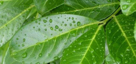 Kirschlorbeer hat braune Blätter