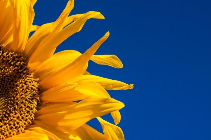 Läuse / Blattläuse auf Sonnenblumen