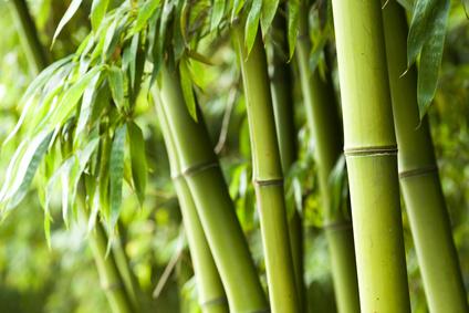 Pflegetipps für den winterfesten Bambus