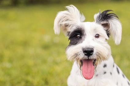 Zecken bei Hunden entfernen